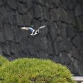 飛ぶハシビロガモ