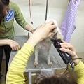 Photos: みんなでモツレを取り、毛玉を刈り、やっとバリカンが入るようになった