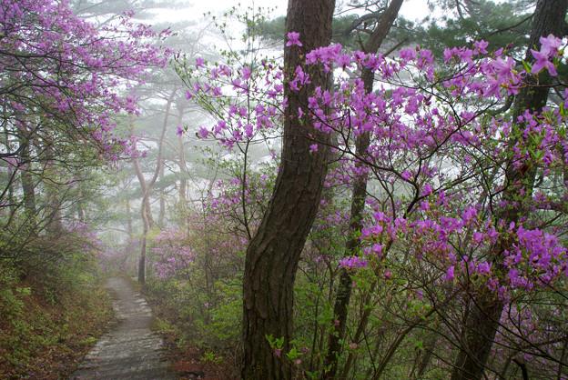 朝靄の中、三ッ葉つつじの階段を行く