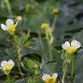 三島梅花藻せせらぎに咲く