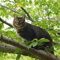 写真: 枝の上から見回り猫さん