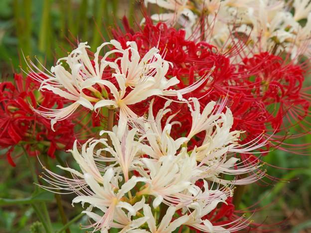 敬老の日に、紅白の彼岸花を *a