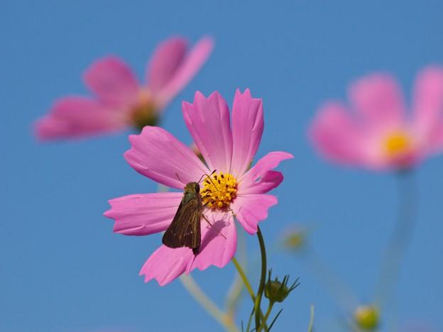 写真: 秋桜へ可愛いお客さま *c