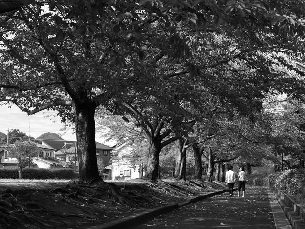 写真: ふたりで歩む桜並木 *a