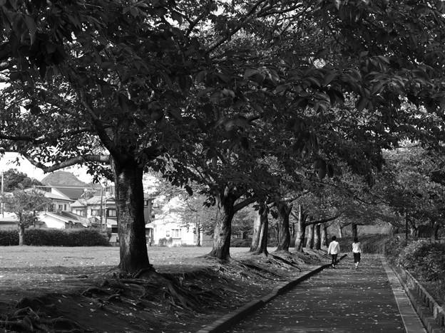ふたりで歩む桜並木 *b