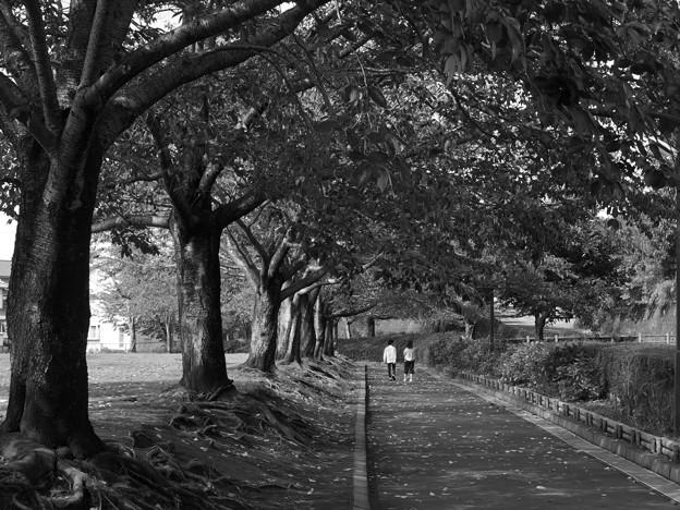 ふたりで歩む桜並木 *c