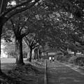 写真: ふたりで歩む桜並木 *c