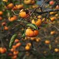 写真: 秋の旬、秋の果物 *b