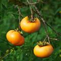 写真: 秋の旬、秋の果物 *e