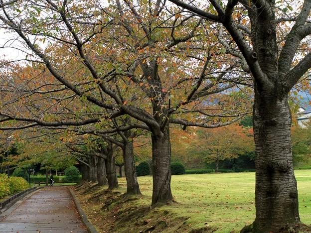 秋雨に濡れた桜並木