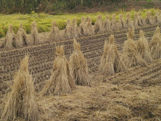 稲刈りの跡…*d