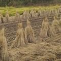 写真: 稲刈りの跡…*d