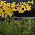 写真: 秋色と緑葉と *a