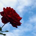 写真: 秋の空を仰ぐ秋薔薇