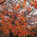晩秋の雨に濡れた桜並木 *b