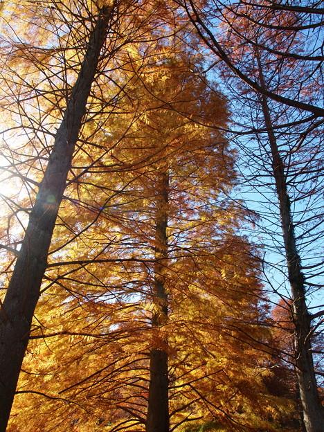 写真: 晩秋の青空とメタセコイア *a
