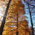 晩秋の青空とメタセコイア *a