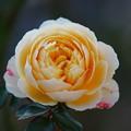 初冬に咲く薔薇 *a