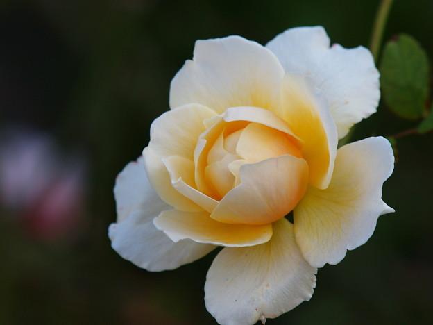 初冬に咲く薔薇 *b