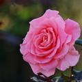 初冬に咲く薔薇 *d