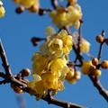 写真: 早春の蝋梅 *a