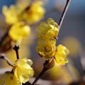 写真: 早春の蝋梅 *d