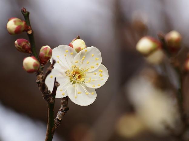 梅は咲いたか桜は未だかいな *a