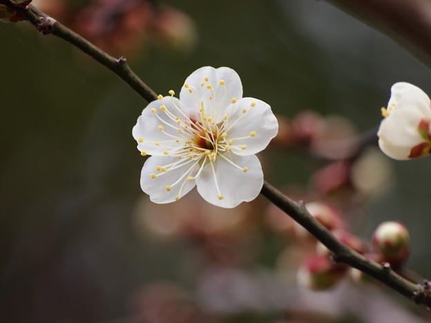 写真: 梅は咲いたか桜は未だかいな *b