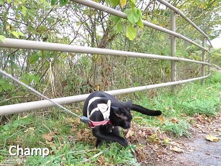 チャンプの散歩6
