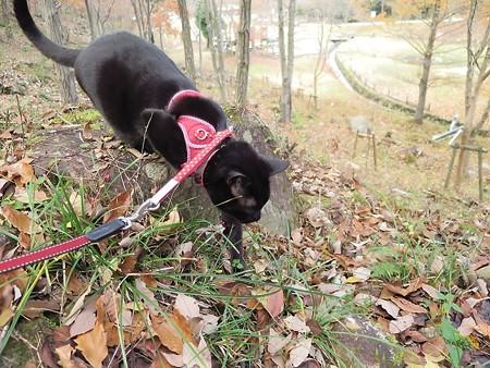 紅葉の終わり_黒猫チャンプ6