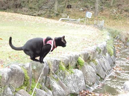紅葉の終わり_黒猫チャンプ18