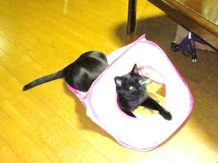 黒猫チャンプの遊び1