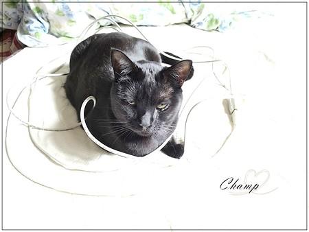 黒猫チャンプとひも