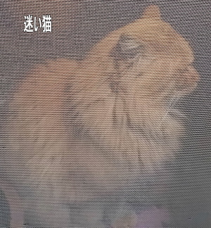 迷子の長毛茶猫3