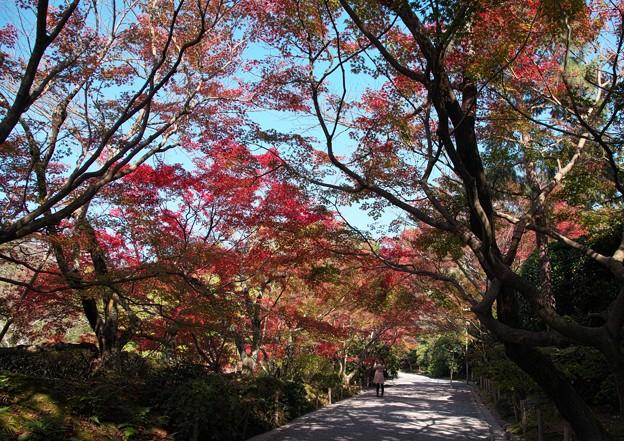 京の紅葉、龍安寺(1)H29,11,17