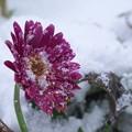 雪まみれのガーベラ H29,12,17