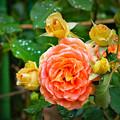Rainy Rose 2