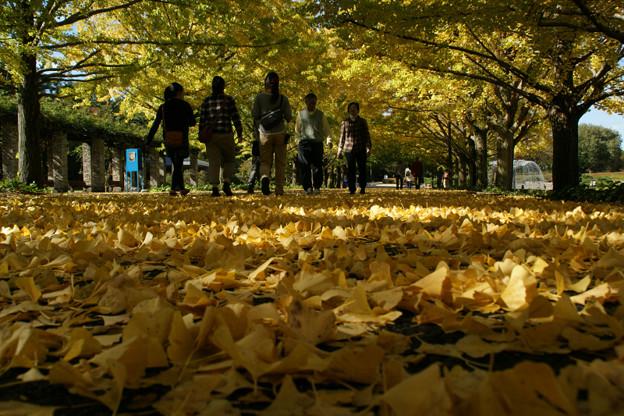 写真: イチョウ並木の落ち葉!(111112)