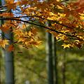 写真: 黄葉が見頃!(111112)