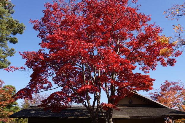 真赤に染まる紅葉の木!20141115