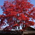 写真: 真赤に染まる紅葉の木!20141115
