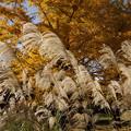 Photos: 秋風に揺れるススキと黄葉!20141115