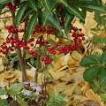 写真: 赤いマンリョウと黄色いイチョウ!