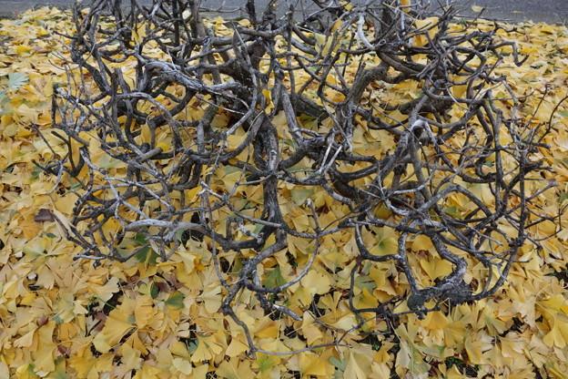 写真: 黄葉の落ち葉!2014
