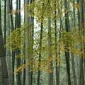 写真: 嵯峨野の竹林風景!2014