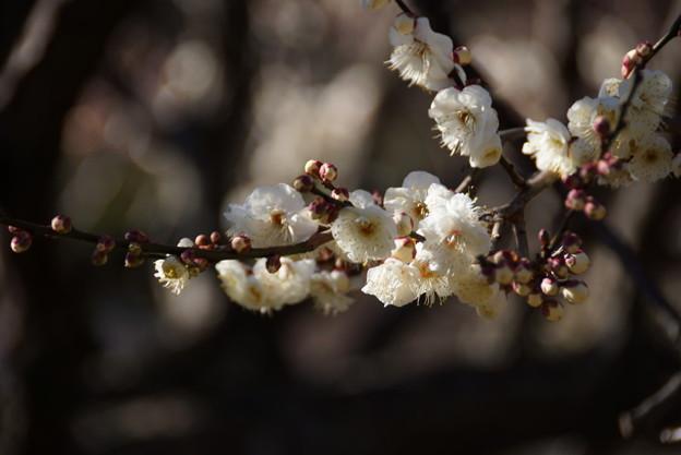 写真: 白梅を楽しむ季節に201501