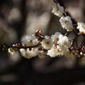 Photos: 白梅を楽しむ季節に201501
