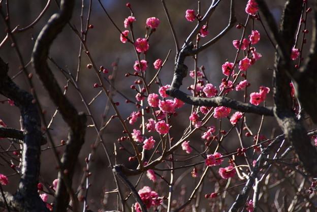 紅梅も咲いています201501