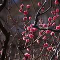 写真: 紅梅も咲いています201501