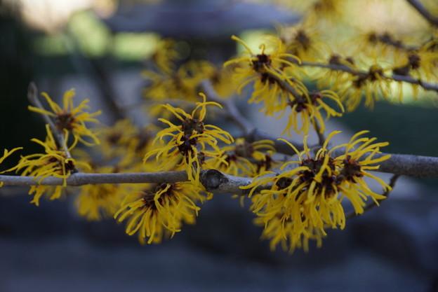 マンサクの花が咲きました201501